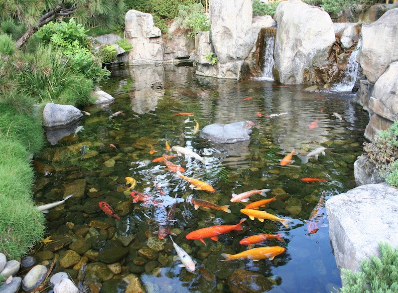 Fish for backyard pond pool design ideas for Koi pond pics