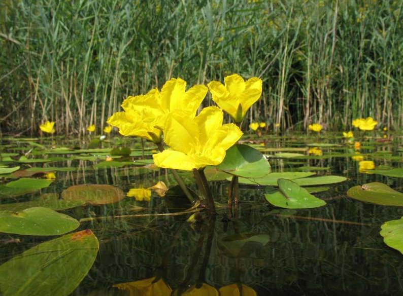Aquatic Plants in Ponds