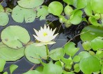 Floating Water Plants for Ponds