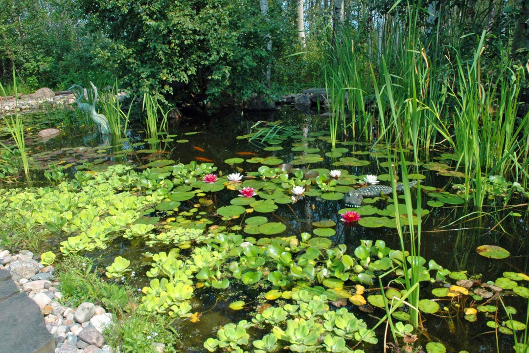 Hardy pond plants pool design ideas for Pond with plants