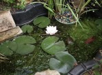 How to Grow Water Plants in a Pond