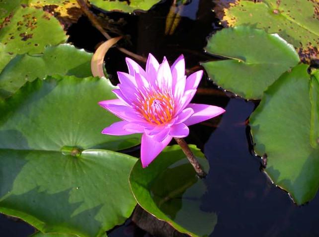 Lotus Plants for Ponds
