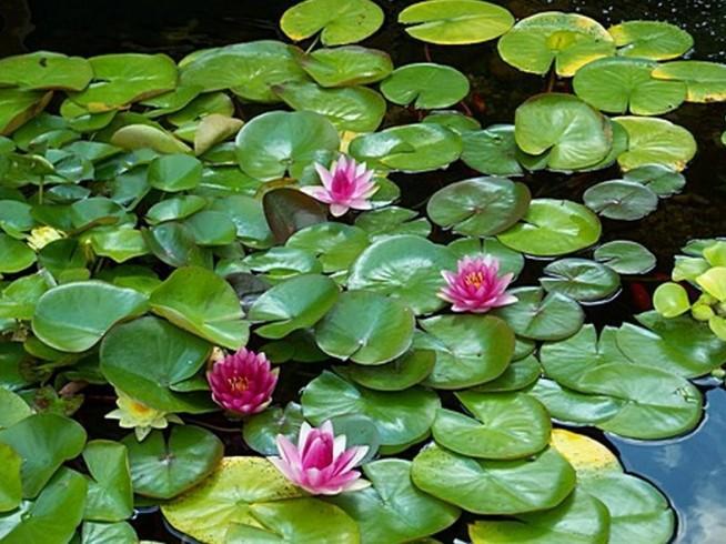 Natural Pond Plants