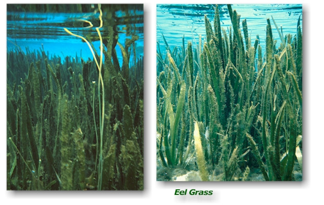 Submerged Pond Plants